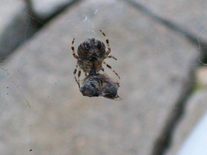 Garden spider feeding on a cocooned wasp or fly