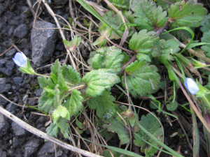 Ivy-leaved speedwell - Veronica hederifolia