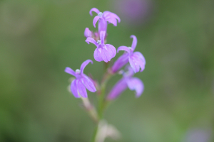 heath lobelia