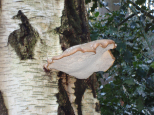 Birch Bracket Fungus