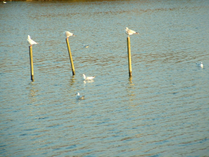 Black headed gulls?