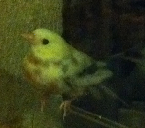 Small White Bird with Black/Brown markings