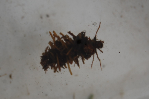 Cased Caddisfly Larvae