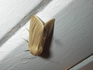 Common Wainscot (with fly)