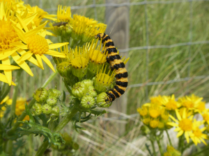 Cinnabar Larvae on Ragwort