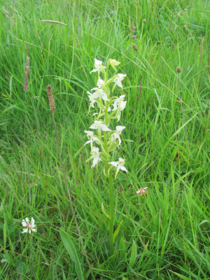 Butterfly Orchid (Greater or Lesser?)