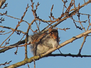 Grey Squirrel (with hint of red)