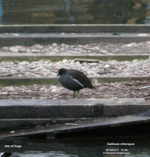 Common Moorhen, Isle of Dogs - 2012