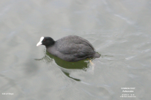 Common Coot, Isle of Dogs - 2012