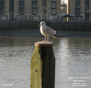 Gull, Isle of Dogs - 2012-01-15