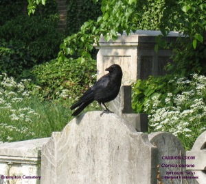 Carrion Crow, Brompton Cemetery - 2011