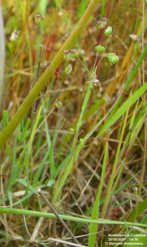 Quaking Grass, Rondebosch Common - 2010