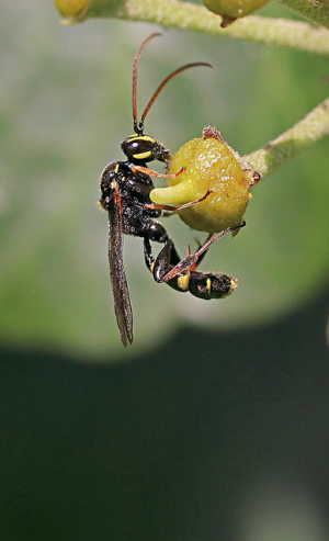 Wasp id needed