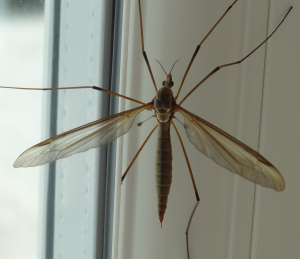 Crane-fly on kitchen window