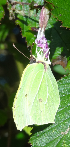 Clouded yellow or Brimstone