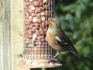 Male chaffinch on peanuts