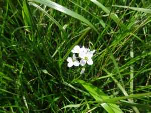 White flower in cow field