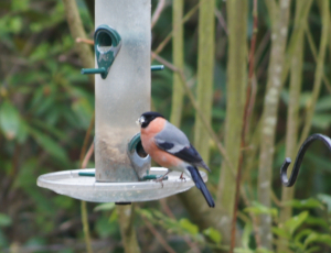 Bullfinch on Feeder Unusual visitor