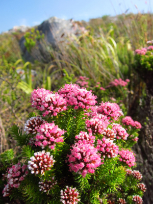 Silvermine fynbos id sought