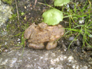 Common or European toad