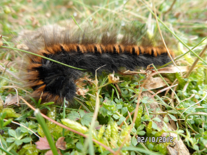 Caterpillat at Kit Hill