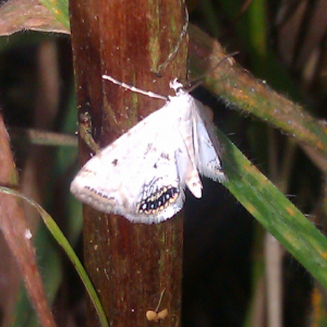 small white moth