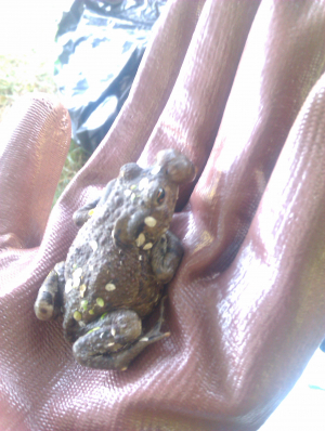 frog with lump