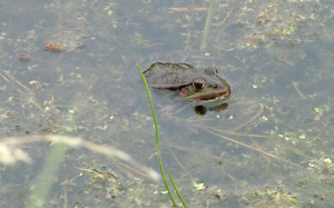 Marsh Frogs at Rainham Marshes