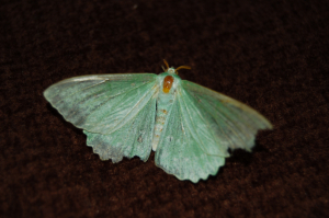 Is this an Emerald Moth?