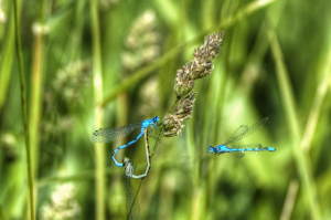 Common or Azure damselflies?