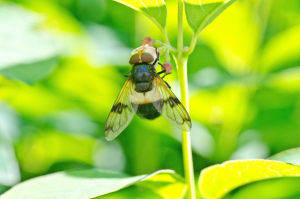 Hover fly - Volucella pellucens