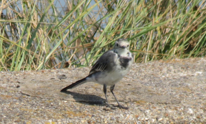 White Wagtail and junior
