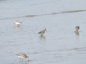 Ungodliness of Godwits