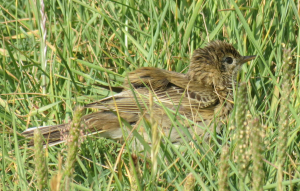 Young Meadow Pipit