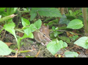 Yellow necked wood mouse