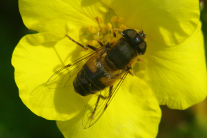 Hoverfly of some sort