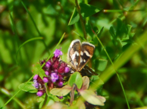 Small but distinctive moth