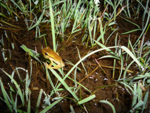 Croaking striped-frog