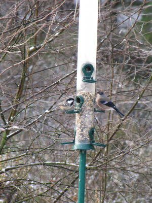 Coal tit and female Bullfinch