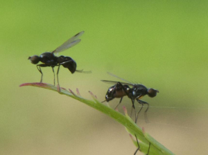 Small black flies