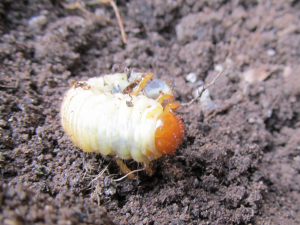 May Bug Grub