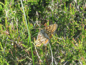 Marsh Fritillary at Murlough NNR