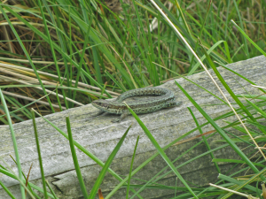 Runkerry Revisited (Common Lizards)