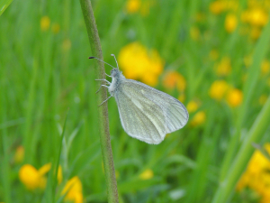 White Butterfly (Cryptic Wood White?)