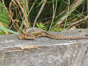 Common Lizards on Cliff Path