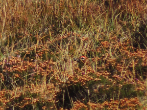 Red Grouse (Eye in the Heather)