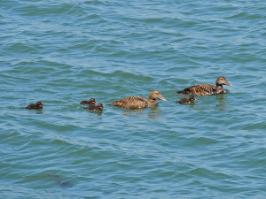 Eider Ducks & Ducklings
