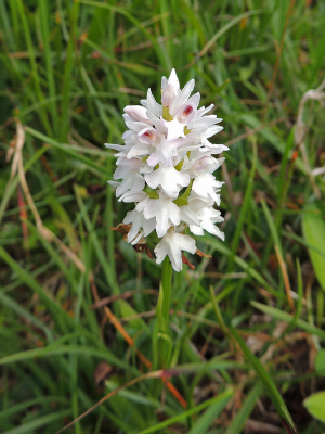 Spotted Orchid (White Form)