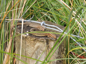 Viviparous Lizards, Donegal