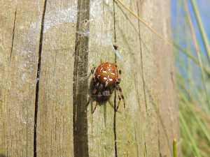 Red/Brown Spider